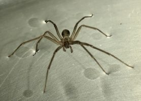 Picture of Loxosceles spp. (Recluse Spiders) - Dorsal