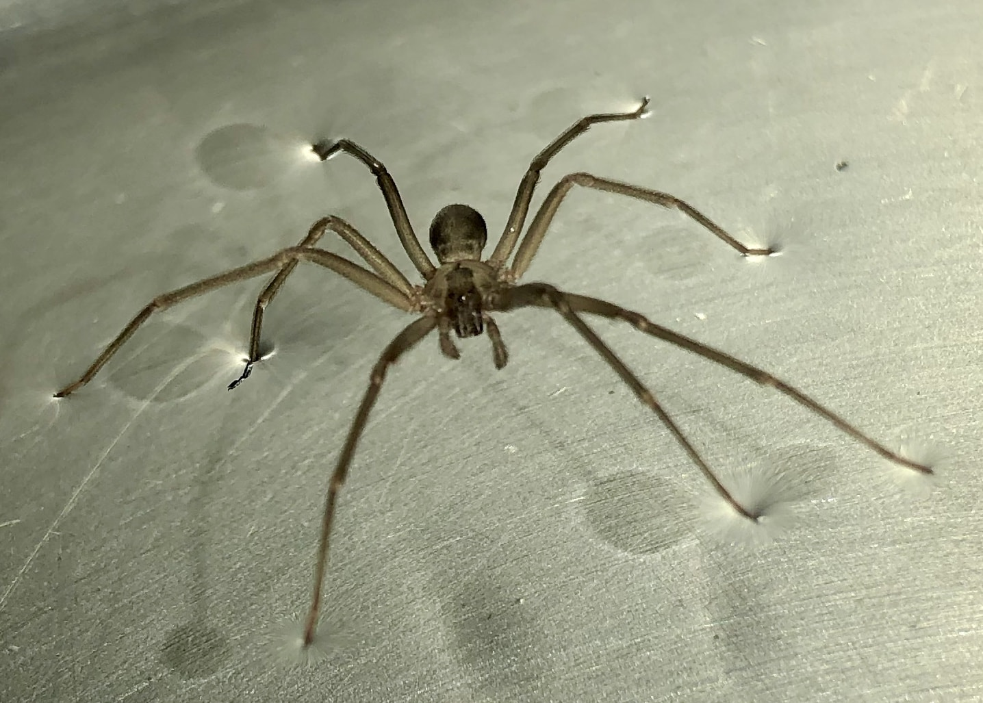 Picture of Loxosceles (Recluse Spiders) - Dorsal