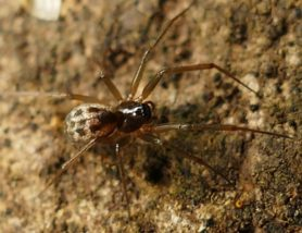 Picture of Linyphiidae (Money Spiders) - Dorsal