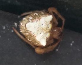 Picture of Verrucosa arenata (Arrowhead Orb-weaver) - Dorsal