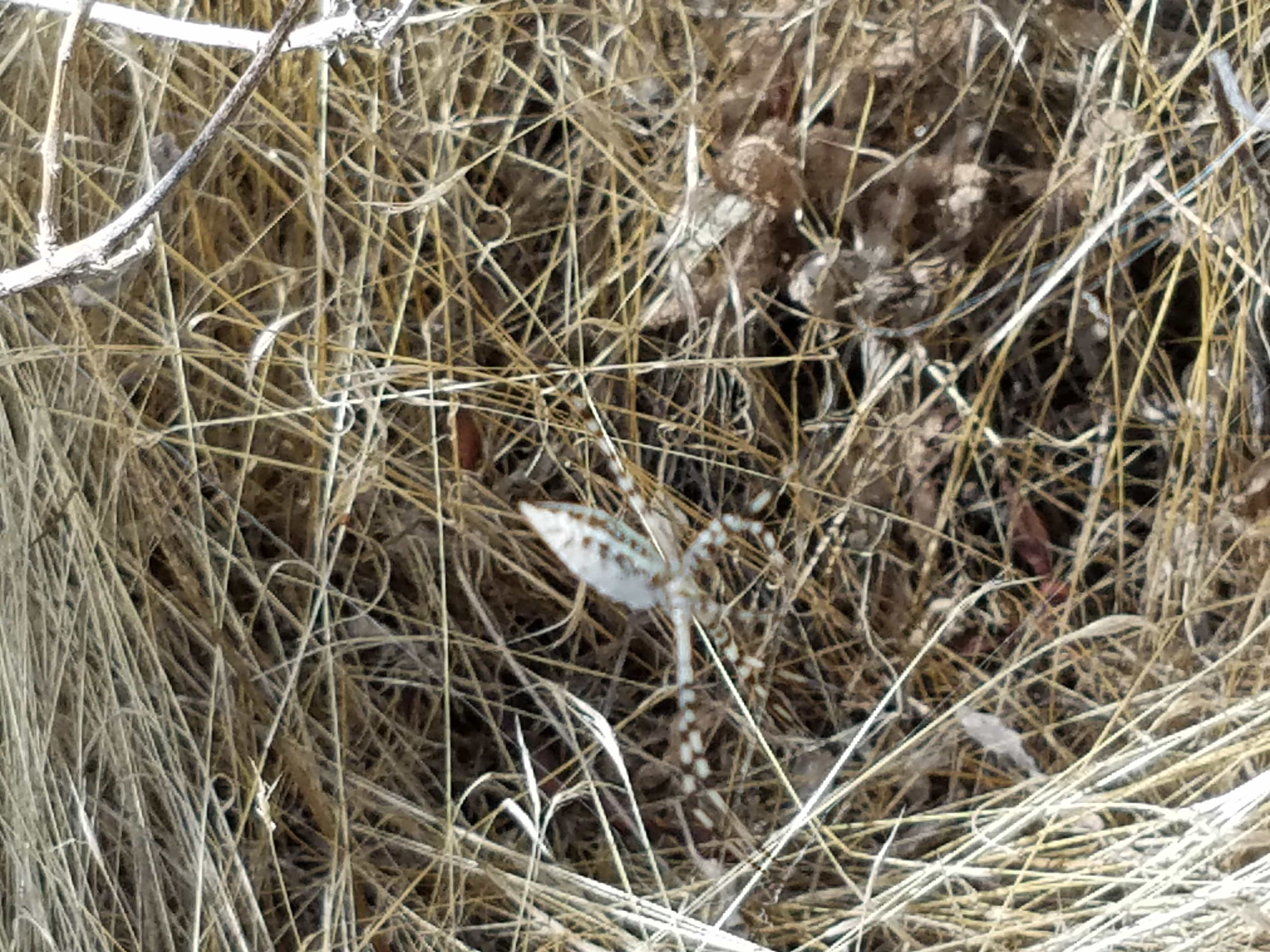 Picture of Argiope trifasciata (Banded Garden Spider) - Lateral
