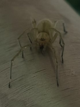 Picture of Cheiracanthium spp. (Long-legged Sac Spiders) - Eyes