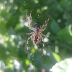 Picture of Araneus diadematus (Cross Orb-weaver) - Female - Ventral,Webs,Prey