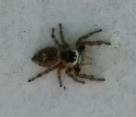Picture of Phidippus otiosus (Canopy Jumping Spider) - Dorsal