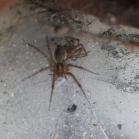 Picture of Agelenopsis spp. (Grass Spiders) - Dorsal,Exuviae,Webs