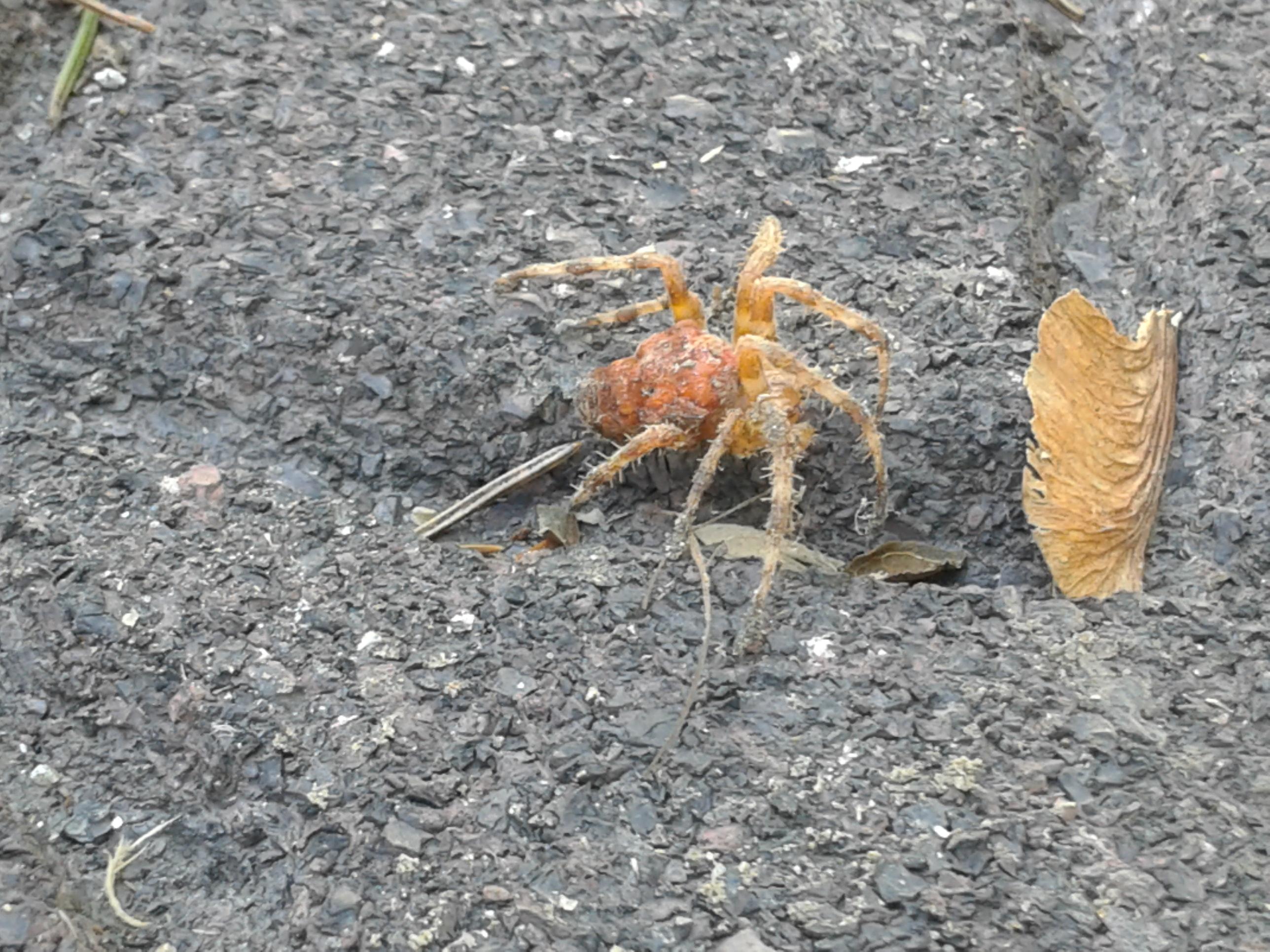 Picture of Araneus diadematus (Cross Orb-weaver) - Female - Lateral