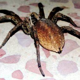 Featured spider picture of Hogna radiata