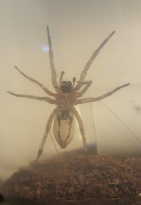 Picture of Schizocosa maxima - Female - Ventral
