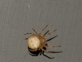 Picture of Araneus spp. (Angulate & Round-shouldered Orb-weavers) - Female - Dorsal