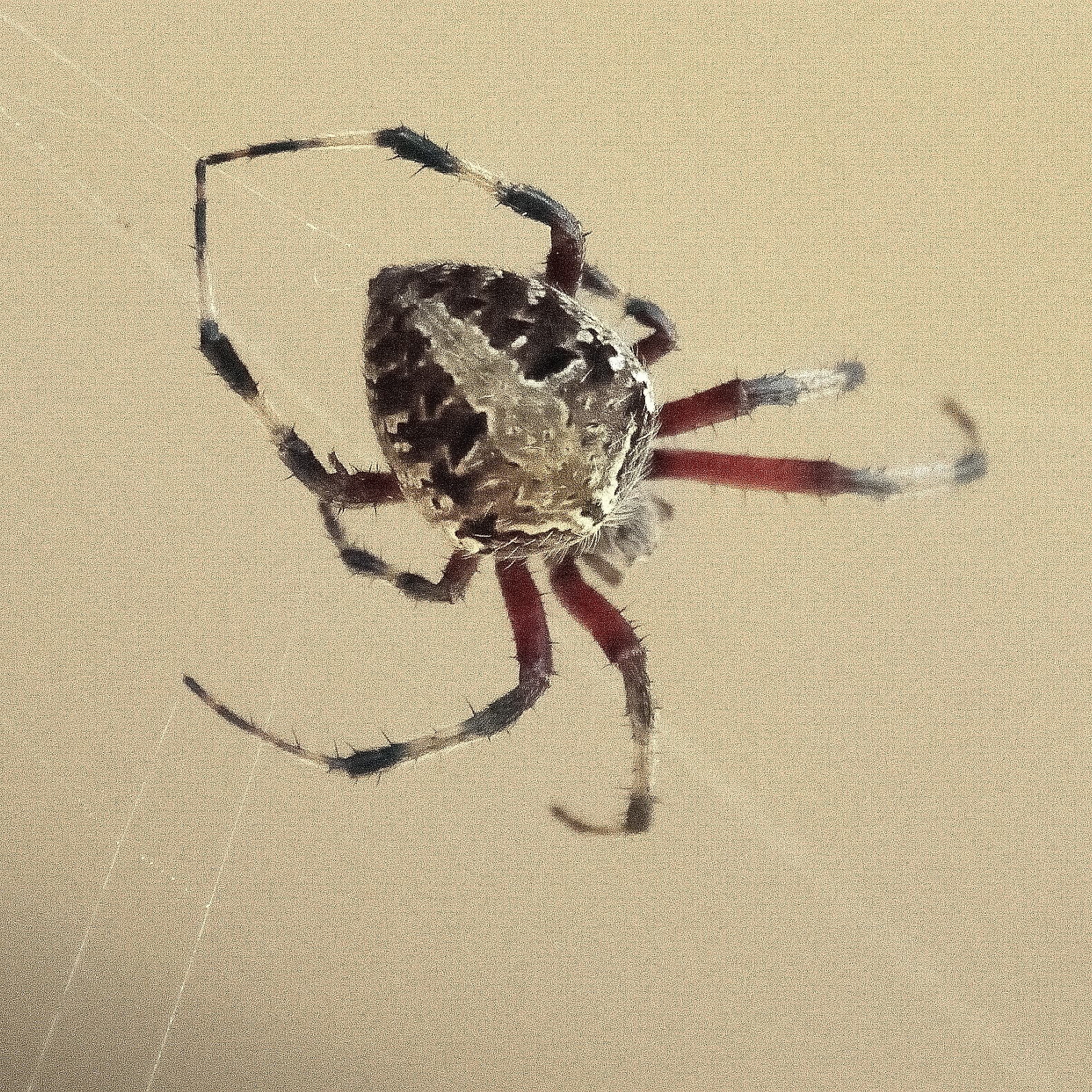 Picture of Neoscona domiciliorum (Spotted Orb-weaver) - Dorsal,Webs