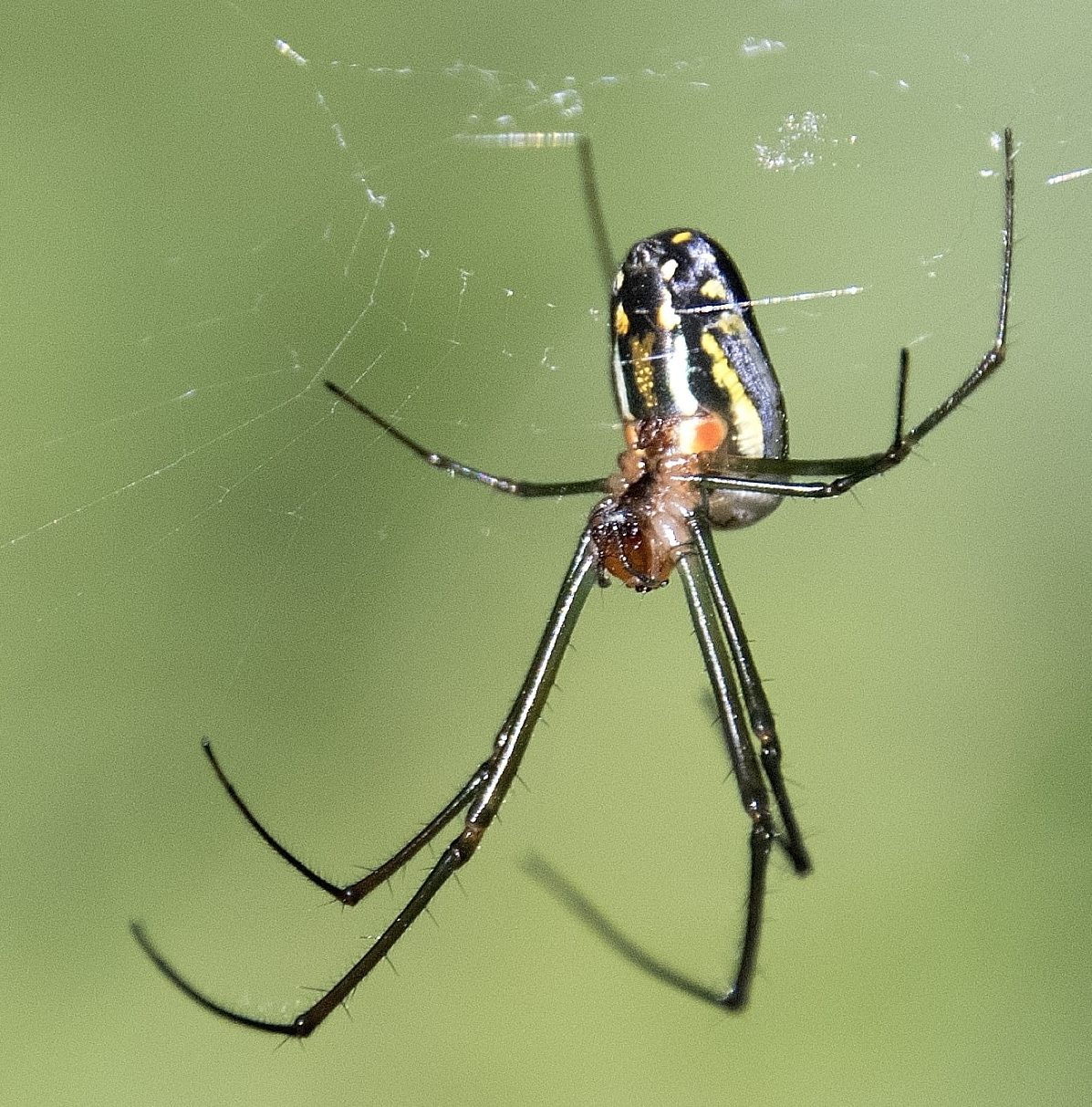 Picture of Leucauge argyra - Female - Ventral,Webs