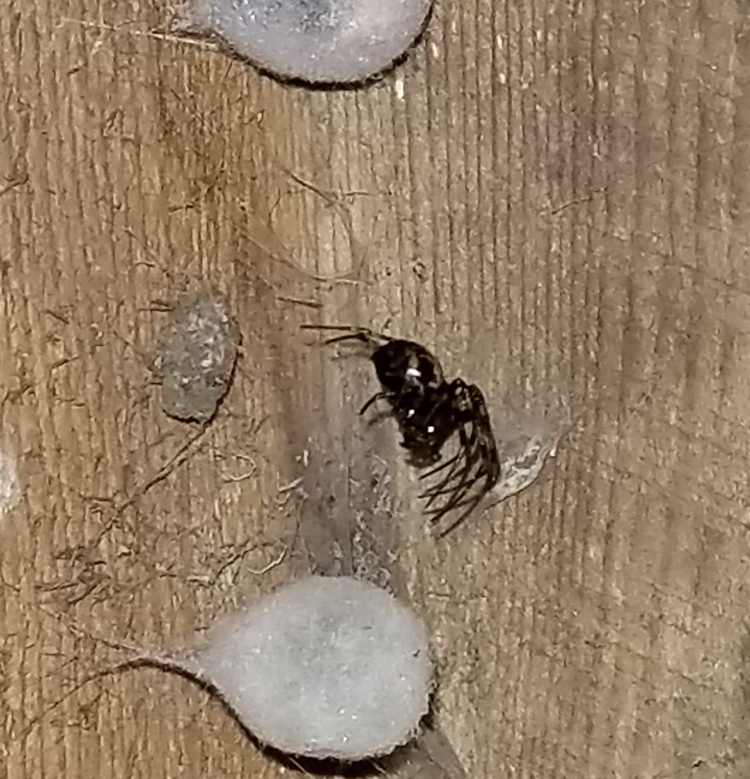 Picture of Meta ovalis (Cave Orb-weaver) - Female - Egg Sacs,Lateral
