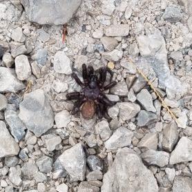 Picture of Myrmekiaphila spp. (Wafer-lid Trapdoor Spiders) - Dorsal