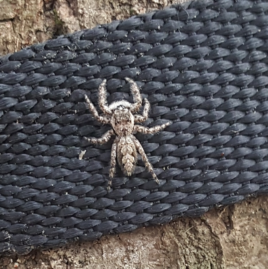 Picture of Platycryptus undatus (Tan Jumping Spider) - Dorsal