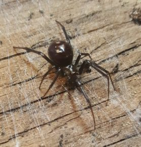 Picture of Steatoda grossa (False Black Widow) - Dorsal