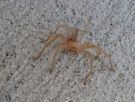 Picture of Sparassidae (Giant Crab Spiders) - Dorsal,Eyes