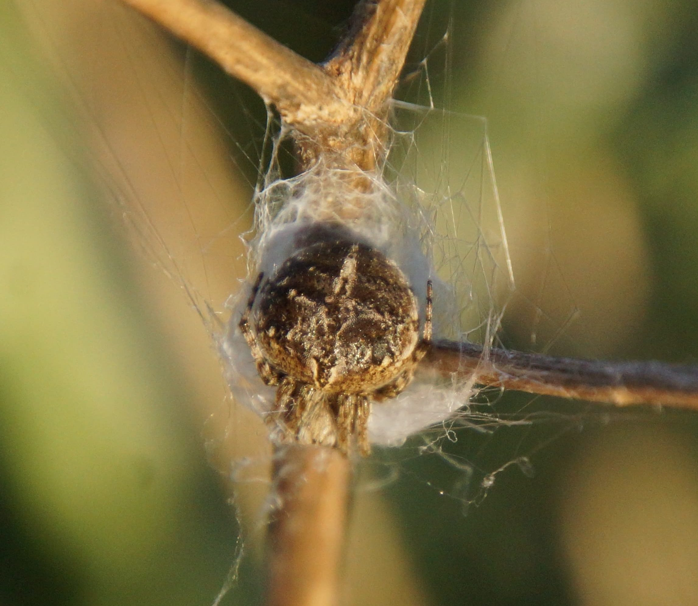 Picture of Agalenatea redii (Gorse Orb-weaver) - Dorsal,Webs