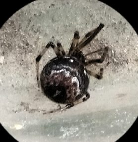 Picture of Parasteatoda tabulata - Dorsal