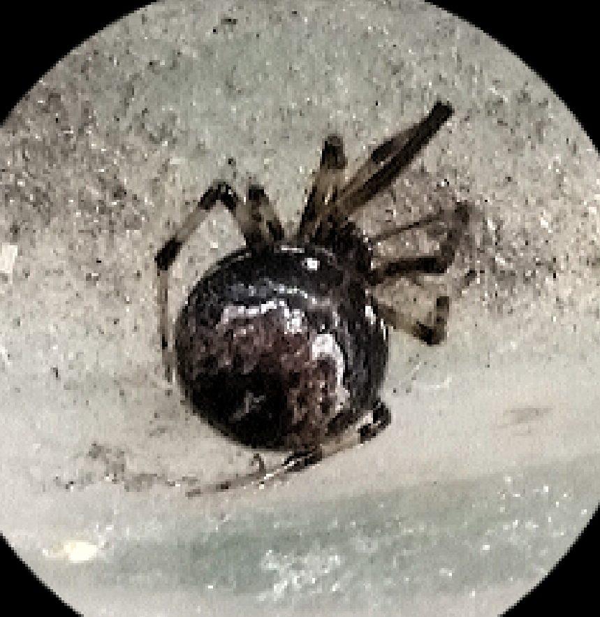 Picture of Parasteatoda tabulata - Dorsal