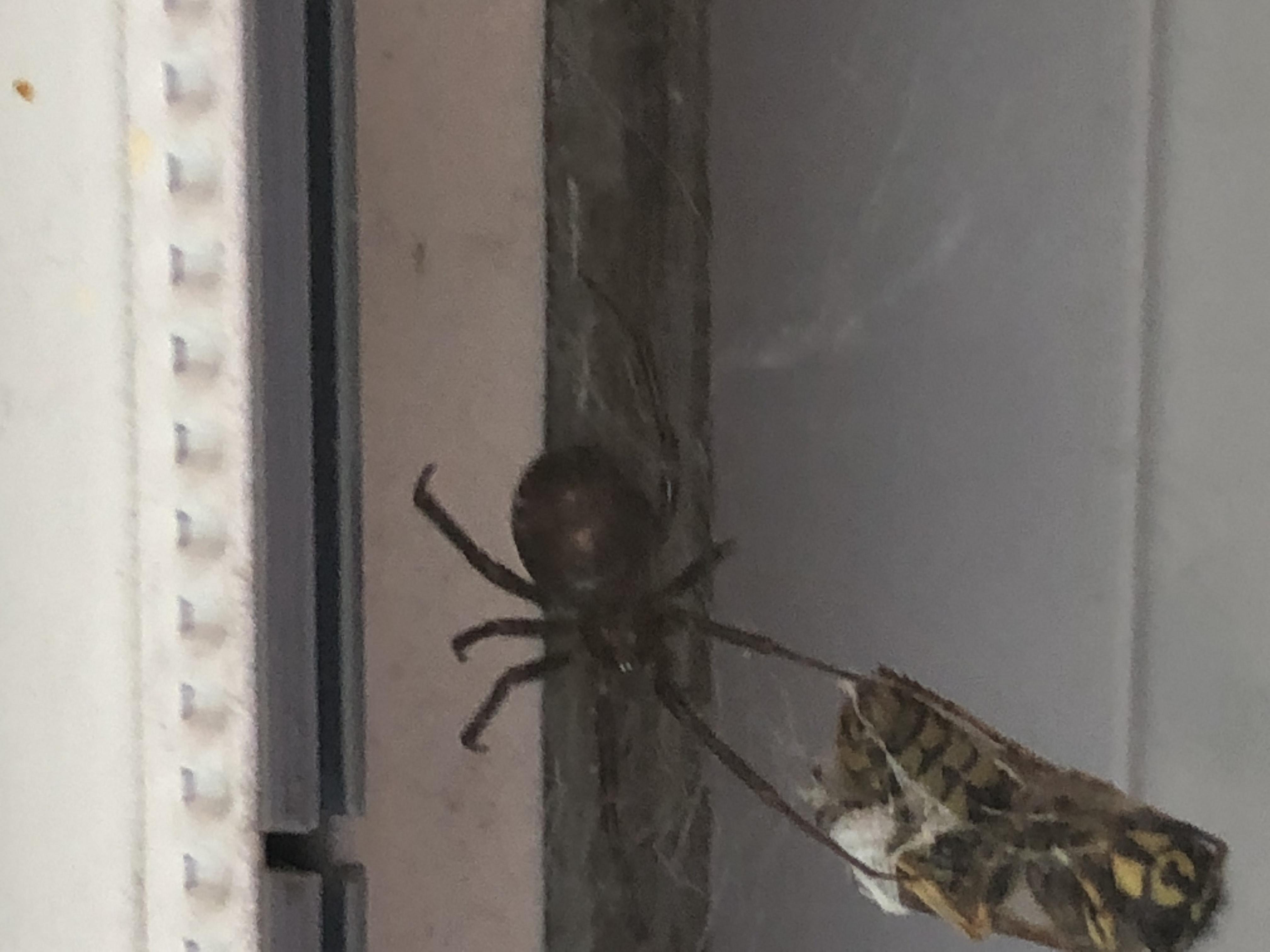 Picture of Steatoda grossa (False Black Widow) - Dorsal,Webs,Prey