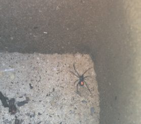 Picture of Latrodectus mactans (Southern Black Widow) - Ventral