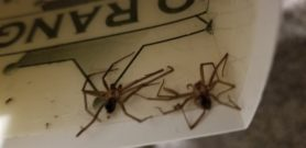 Picture of Loxosceles reclusa (Brown Recluse) - Male,Female - Dorsal