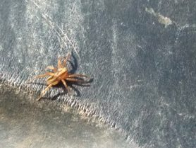 Picture of Schizocosa spp. (Lanceolate Wolf Spiders) - Dorsal