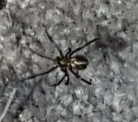 Picture of Theridiidae (Cobweb Weavers)