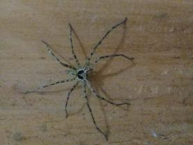 Picture of Heteropoda spp. - Male - Dorsal