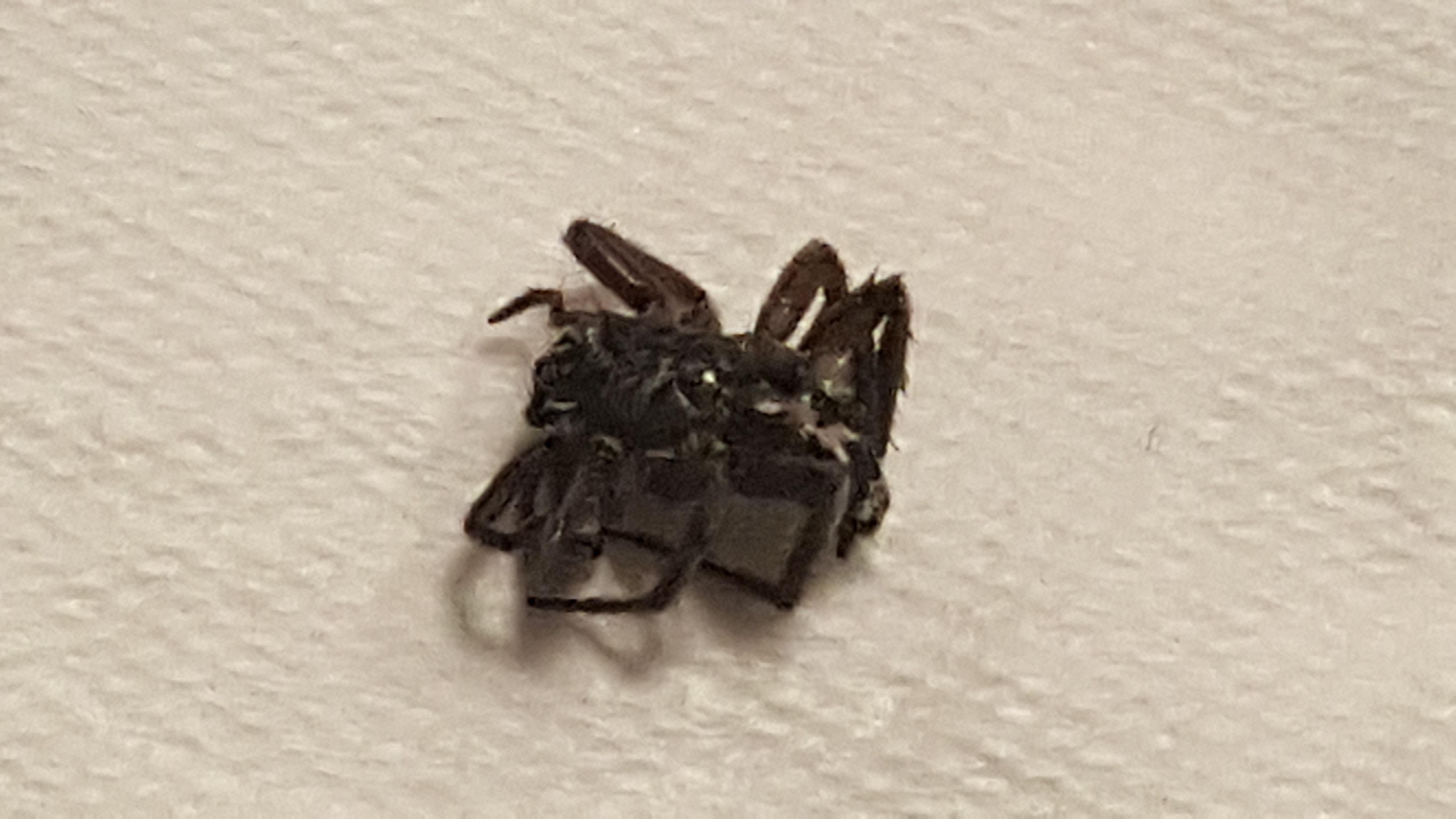 Picture of Herpyllus ecclesiasticus (Eastern Parson Spider)