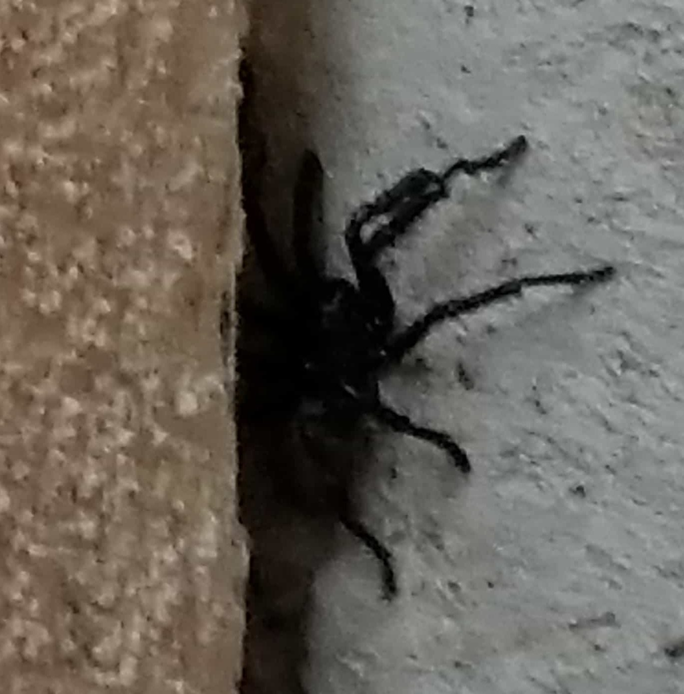 Picture of Bothriocyrtum californicum (California Trapdoor Spider) - Male - Lateral