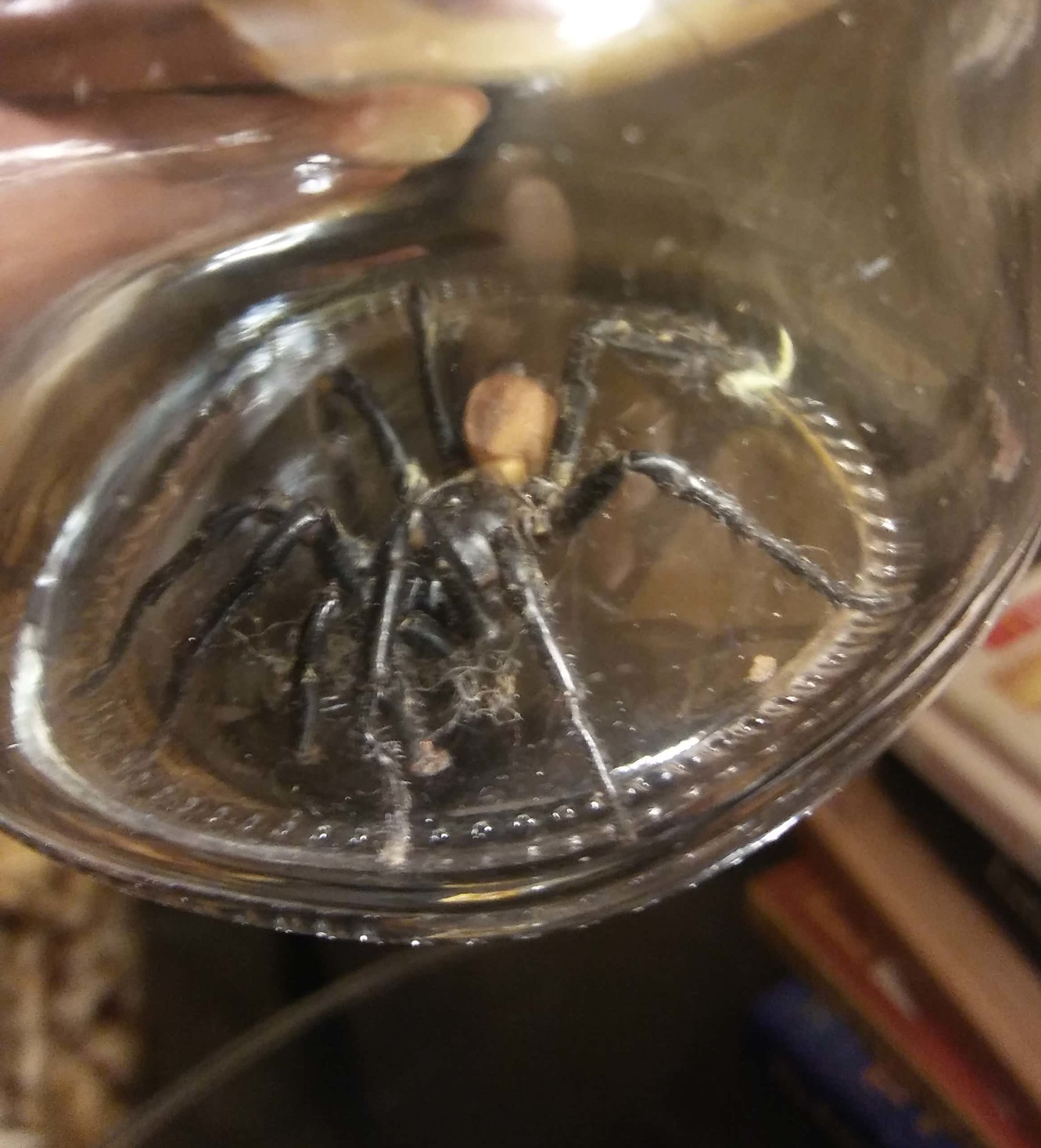 Picture of Bothriocyrtum californicum (California Trapdoor Spider) - Male