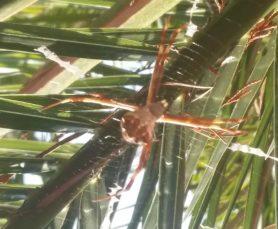 Picture of Argiope spp. (Garden Orb-weavers) - Dorsal,Webs