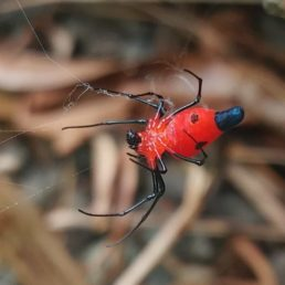 Featured spider picture of Alcimosphenus licinus (Dominican Spider)