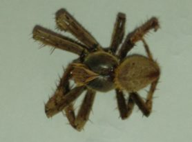 Picture of Eriophora spp. - Male - Dorsal