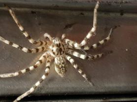 Picture of Eusparassus spp. (Stone Huntsman Spiders) - Male - Dorsal