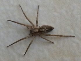 Picture of Anyphaenidae (Ghost Spiders) - Dorsal