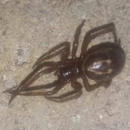 Featured spider picture of Steatoda nobilis (Noble False Widow)