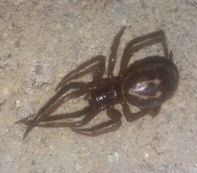 Picture of Steatoda nobilis (Noble False Widow) - Female - Dorsal