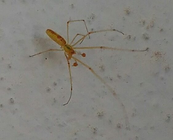 Picture of Tetragnathidae (Long-jawed Orb-weavers) - Male - Dorsal