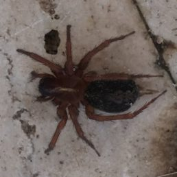 Featured spider picture of Lycosoides coarctata
