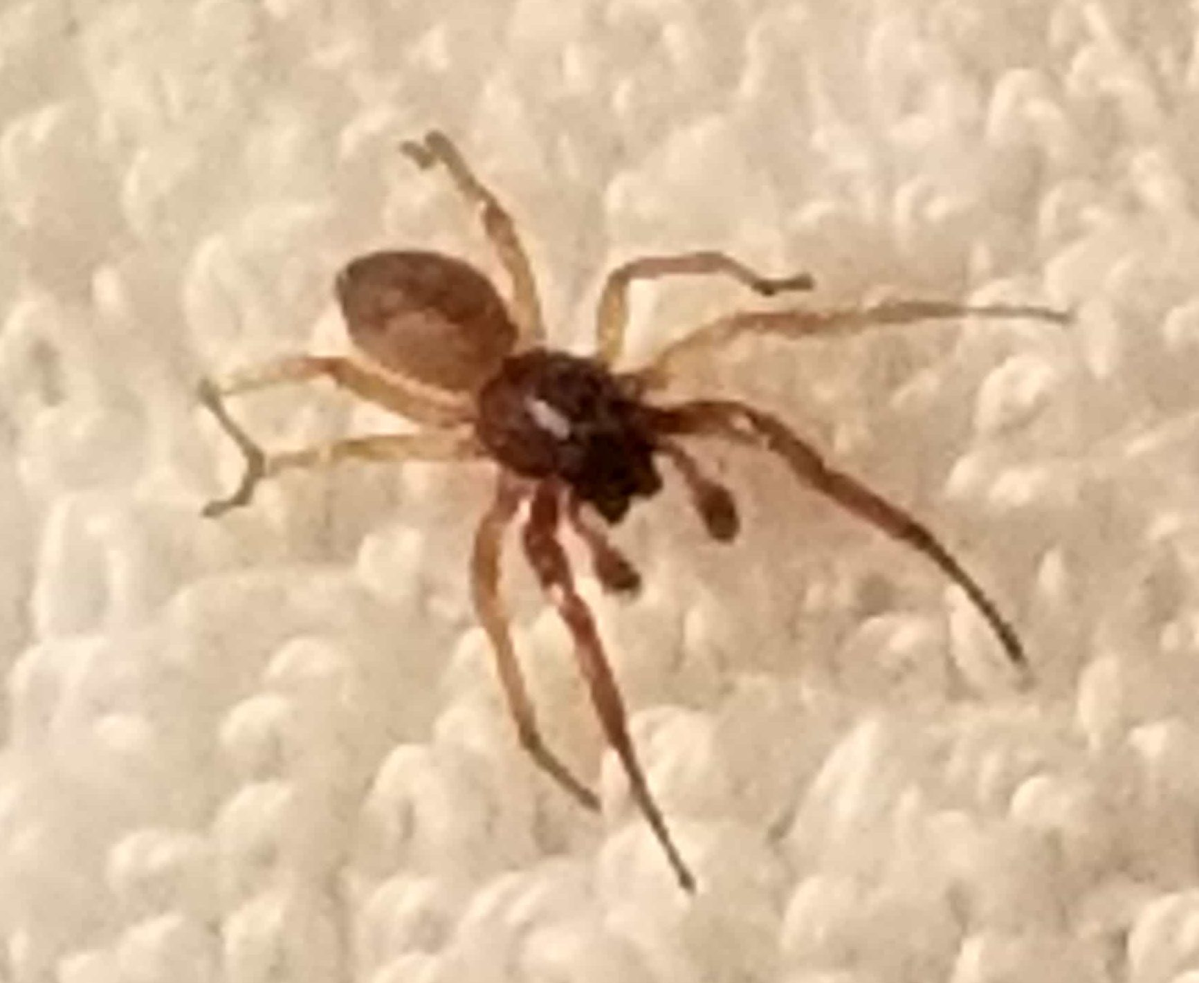 Picture of Trachelidae (Ground Sac Spiders) - Male - Dorsal