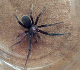 Picture of Kukulcania spp. - Female - Dorsal