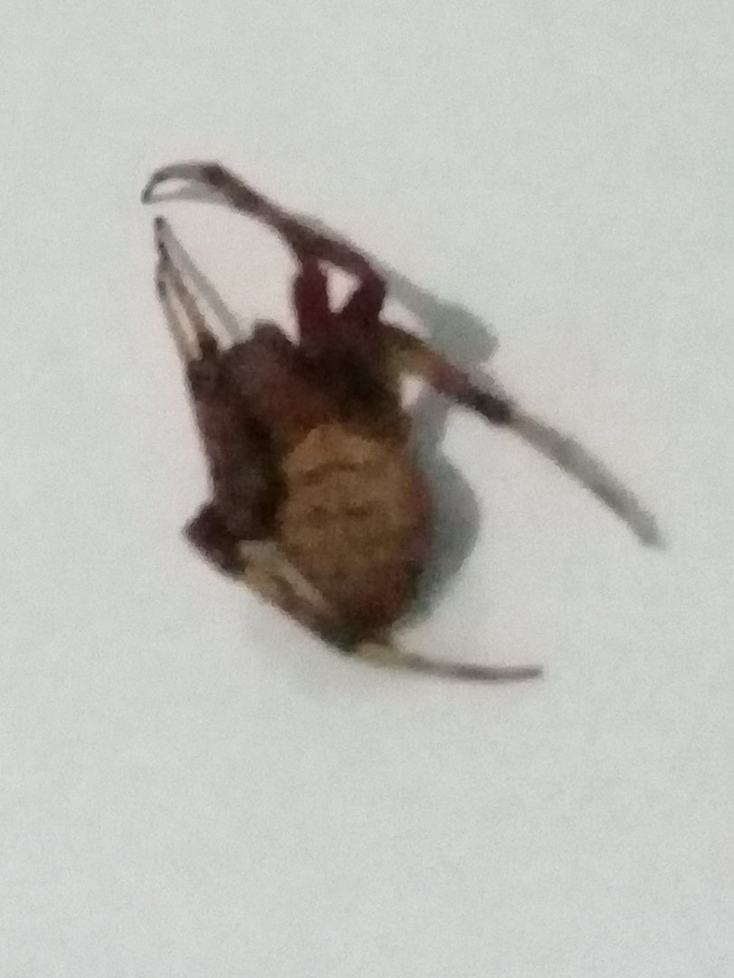 Picture of Araneidae (Orb-weavers)