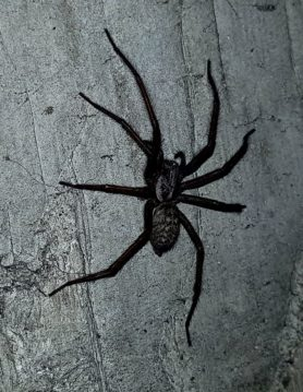 Picture of Eratigena atrica (Giant House Spider) - Lateral