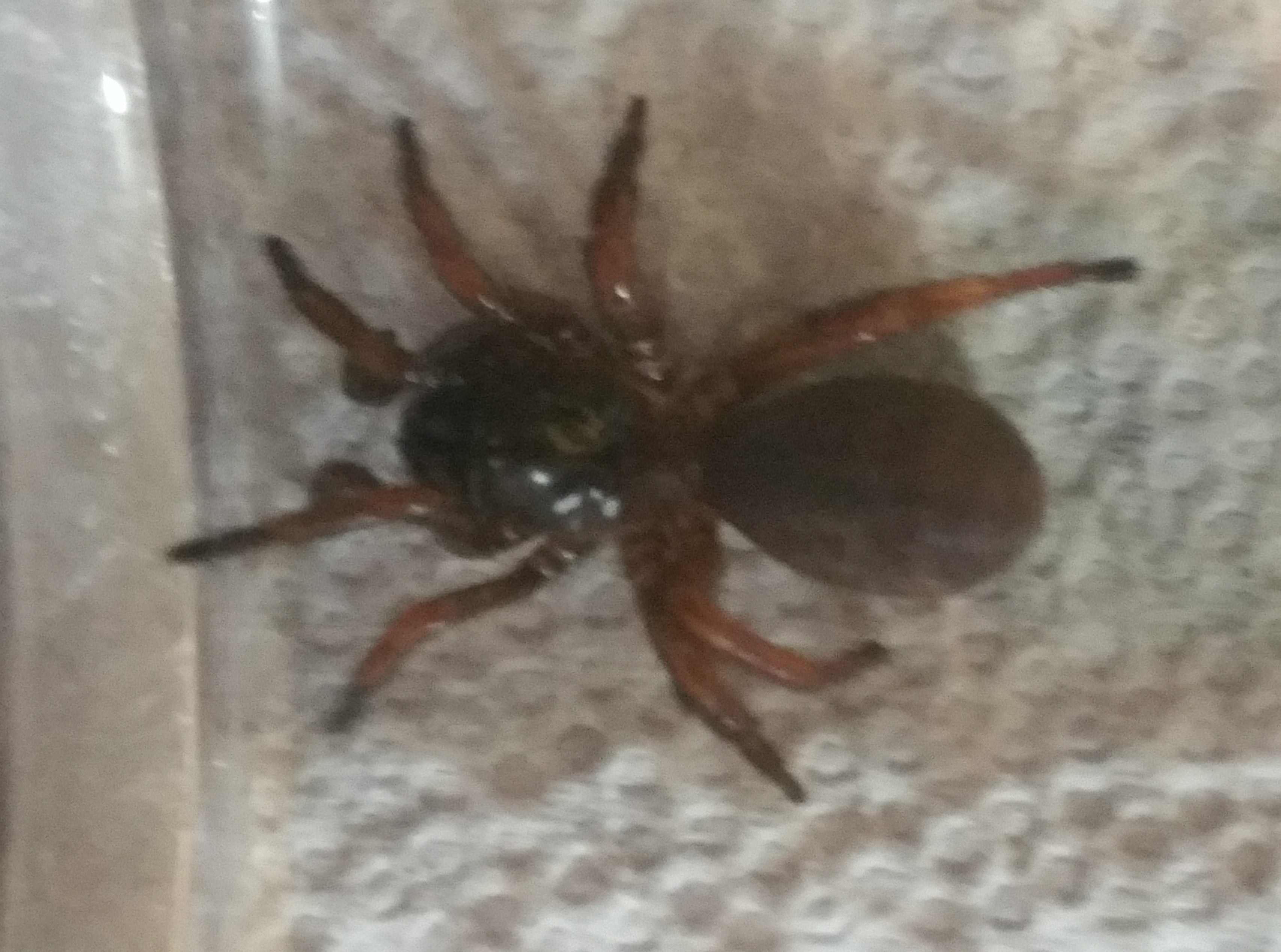 Picture of Euctenizidae (Wafer-lid Trapdoor Spiders) - Dorsal