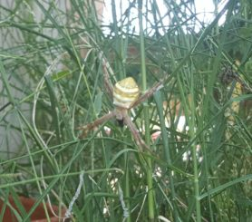 Picture of Argiope keyserlingi (St Andrew's Cross Spider) - Dorsal