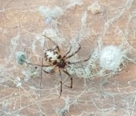 Picture of Steatoda triangulosa (Triangulate Cobweb Spider) - Female - Dorsal,Egg Sacs,Webs