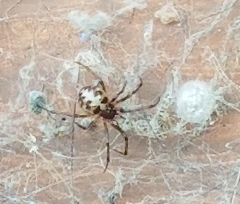 Picture of Steatoda triangulosa (Triangulate Cobweb Spider) - Female - Dorsal,Egg Sacs,Webs