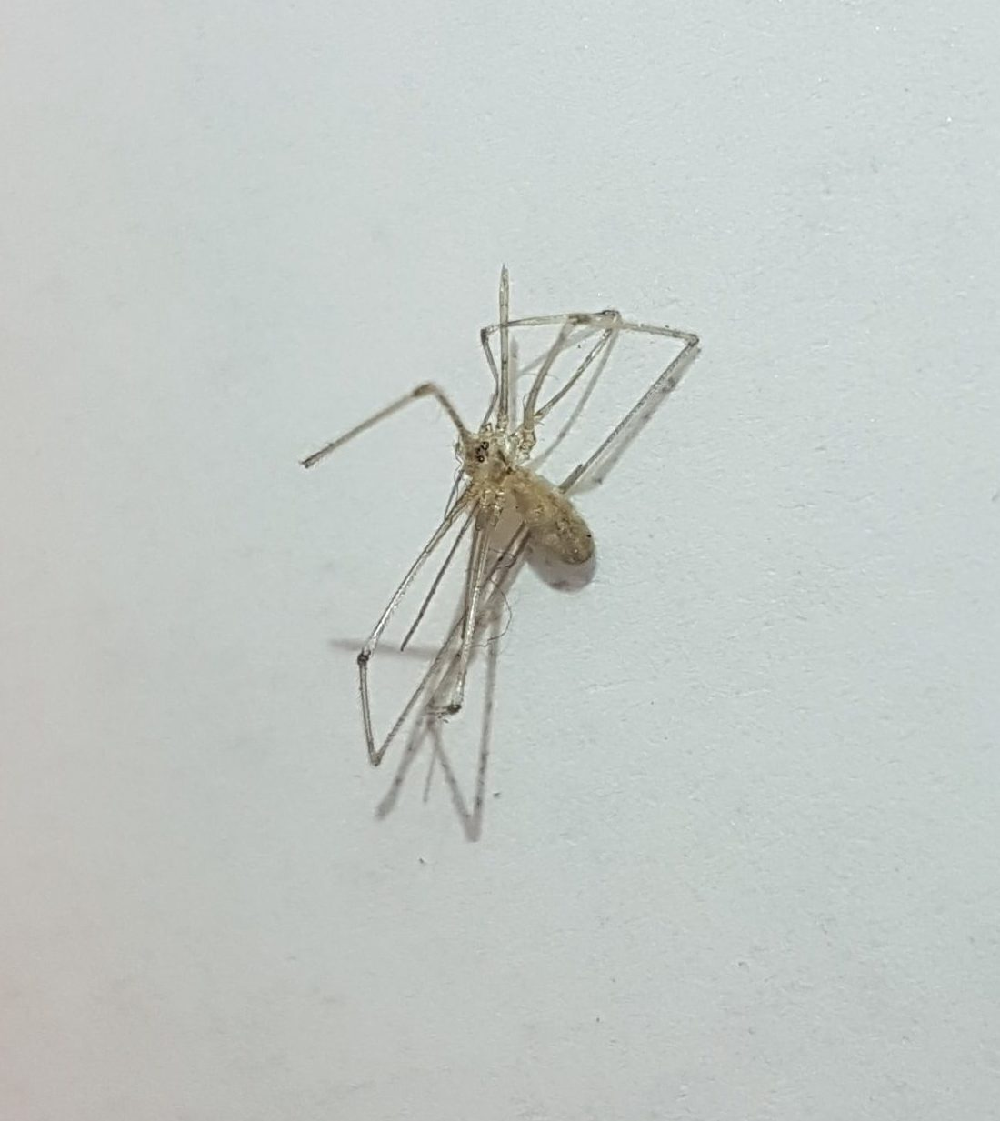 Picture of Pholcidae (Cellar Spiders)